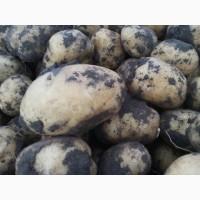 Продаём на посадку картофель супер супер элита