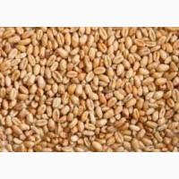 Пшеница двуручка Леннокс от Бучачагрохлебпром