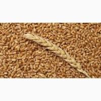 Куплю пшениці некондиція закупівля у великих про обсягах по всій території України ДОРОГО