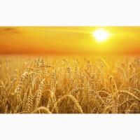 Куплю з місця пшеницю 6 клас. По Вінницькій області