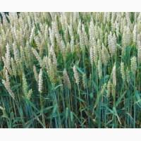 Пшеница озимая Акратос 1 репродукция