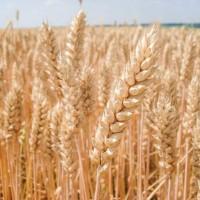 Озимая пшеница, сорт Мидас, австрийская селекция, первая репродукция