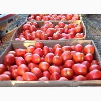 Продам помидор грунтовой, сорт Рио Гранде, . Отличного качества