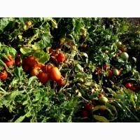 Продам помидор грунтовой, сорт Рио Гранде