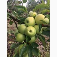 Продаємо яблука сортів Чемпіон, Голден, Айдаред, Еліза, Джонаголд