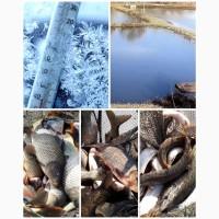 Риба товарна: Товстолоб, Короп