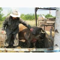 Свиноматки мангал покрыты дюроком