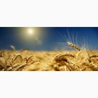 Продам СРОЧНО Семена ячменя ADDISON канадский трансгенный сорт пивоваренный (элита)