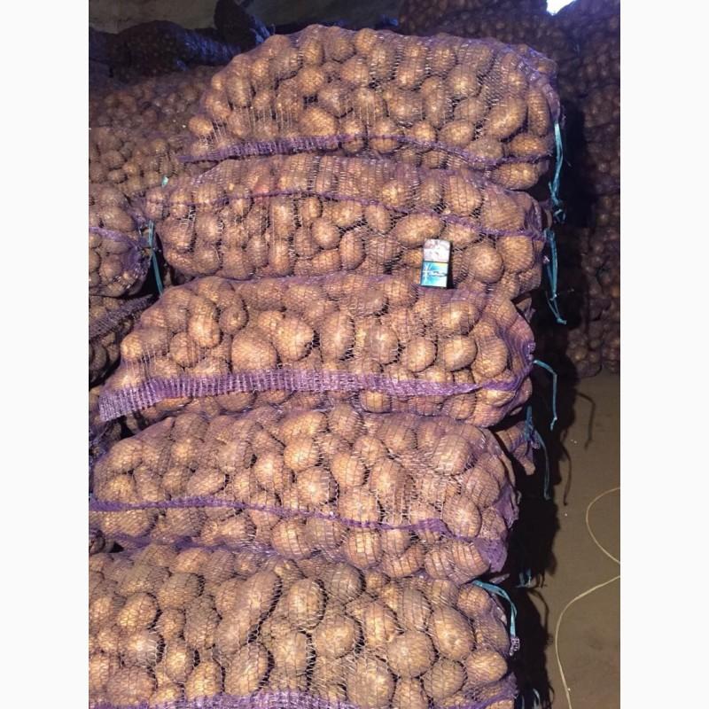 Показать фото картофеля славянка бородянка сантэ пынзарь сняла