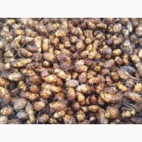 Чуфа - земляной орех - веган-продукти, чуфу