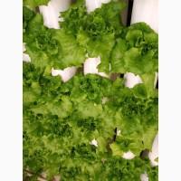 Продаю салати (Батавія, лоло бьонда, росо, міні ромен, фрізе, базілік