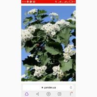 Закупаем липисток подсолнуха, цвет боярышника, цвет с листом, цвет липы, бузины