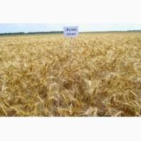 Продам Лісова Пісня(пшеница)