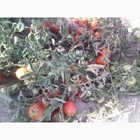 Продам полевую помидору