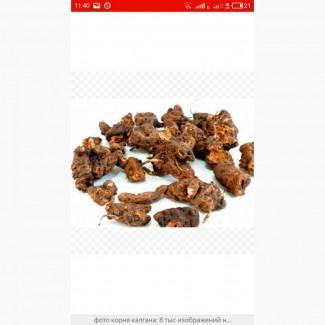 Закупаем сухой корень калгана, живокоста, девясила, Алтея и др.только качество