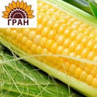 ГРАН» пропонує насіння гібриду кукурудзи «ГРАН 220»
