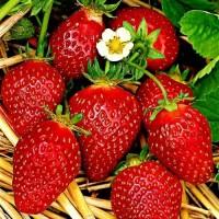 Полуниця Корона (Korona Strawberry) саджанці полуниці Фріго
