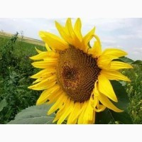 Насіння соняшнику НС Х 6045 (OR Stop) гібрид соняшника Сербської селекції (NS SEME)