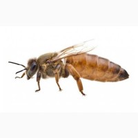 Продам матки породы Бакфаст. Пчеломатки Бакфаст. Бджоломатки Бакфаст