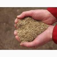Продаємо насіння Костриці (Вівсяниці) Овeчої! Найвищого гатyнкy