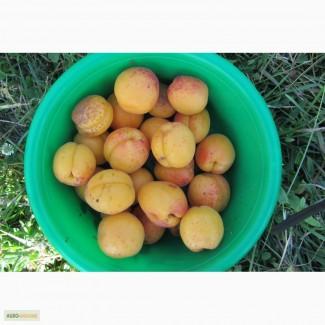 Саженцы абрикоса сорта Оболонський, Le 32/76, Ранній ботсаду