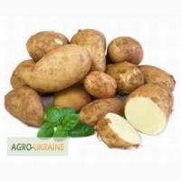 Продается оптом картофель сортов - Романо, Латона, Сильвана и Ред Леди