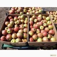 Яблоки оптом зимних сортов из молодого сада