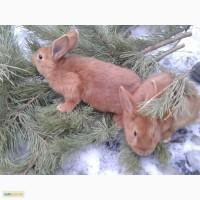Кролики Новозеландцы красные 1-1, 5 месяца