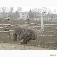 Продам семью африканских страусов