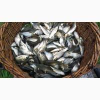 Продам зарибок риби. Зарыбок, малек рыбы