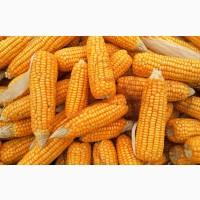 Есть покупатели пшеницы и кукурузы с эливаторов и хозяйств с всей Украины