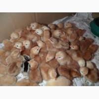 Суточные цыплята Фокси Чик (Венгрия) Сумы Недригайлов Липовая Долина