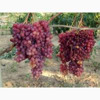 Опт и розница саженцев/черенков винограда от частного питомника