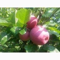 Продам яблоки Слава Победителю2018 года