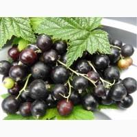 Порошок чёрной смородины клетчатка для пищевой промышленности