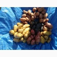 Продам насіння картошки сортів Белла роза Забава Скарбниця Ревєра