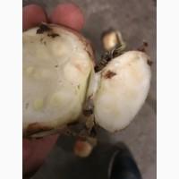 Продам лук на зеленое Перо
