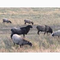 Продам овец, баранов романовской породы