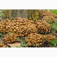Опята грибы замороженные