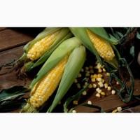 Насіння кукурудзи Робсон