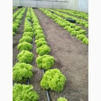 Продам зеленый салат