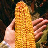 Продам кукурудзу Достаток 300 МВ