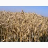 Продам Нива Одеська(пшеница)