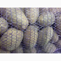 Продам Картофель оптом цена 5 грн