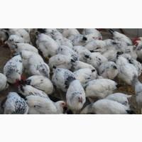 Курчата, цыплята, утята, каченята