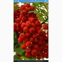 Закупаем сушеную ягоду красной рябины., шиповник, боярышник.Самовывоз по Украине