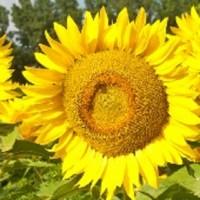 Семена подсолнечника Фолк