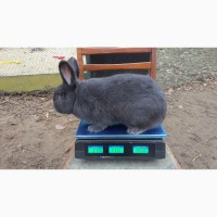 Продам кролей Венский голубой