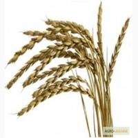 Купим пшеницу на экспорт