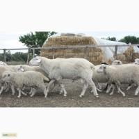 Продам баранов на мясо, Асканийский и курдючной породы